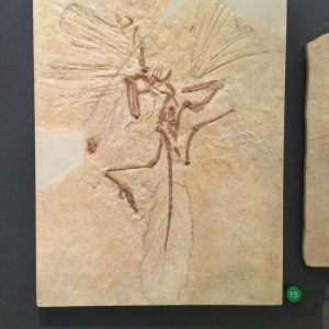 This archaeopteryx fossil is just beautiful.