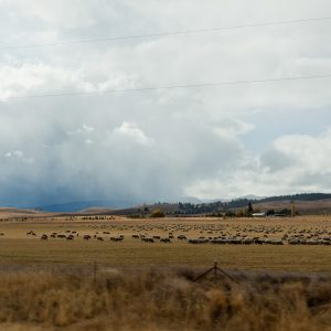 Sheep. I guess that's Eastern Oregon's thing.